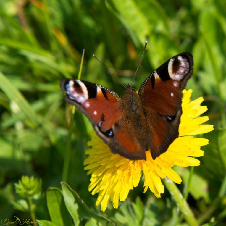 European peacock butterfly // Tagpfauenauge