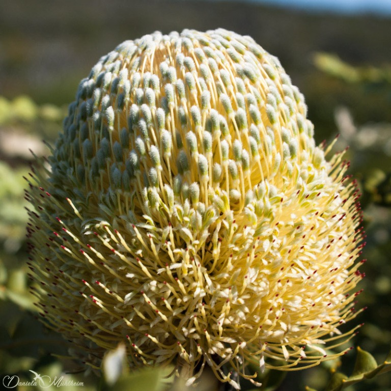 Showy Banksia