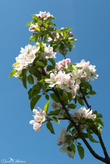 Gleaming apple blossom