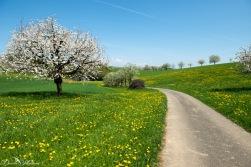 ladybird, earth, exploring, daniela, mühlheim, danielamühlheim, nature, flower, bloom, Switzerland, cherry