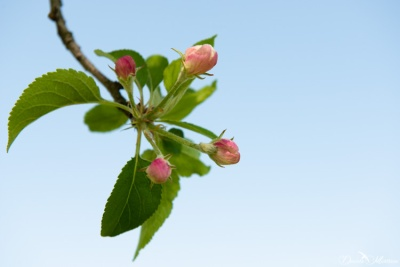 Apple's pink buds