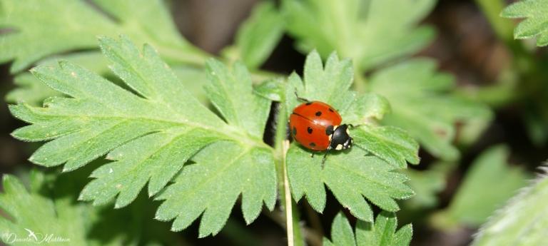 daniela, danielamuehlheim, mühlheim, ladybird, exploring, earth, abundance, nature, Switzerland