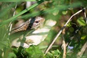 daniela, danielamuehlheim, mühlheim, ladybird, exploring, earth, abundance, nature, switzerland, grapevines, reptile, lizard