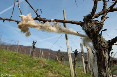 Grapevines March-29
