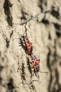 daniela, danielamuehlheim, mühlheim, ladybird, exploring, earth, abundance, nature, switzerland, grapevines, insect,
