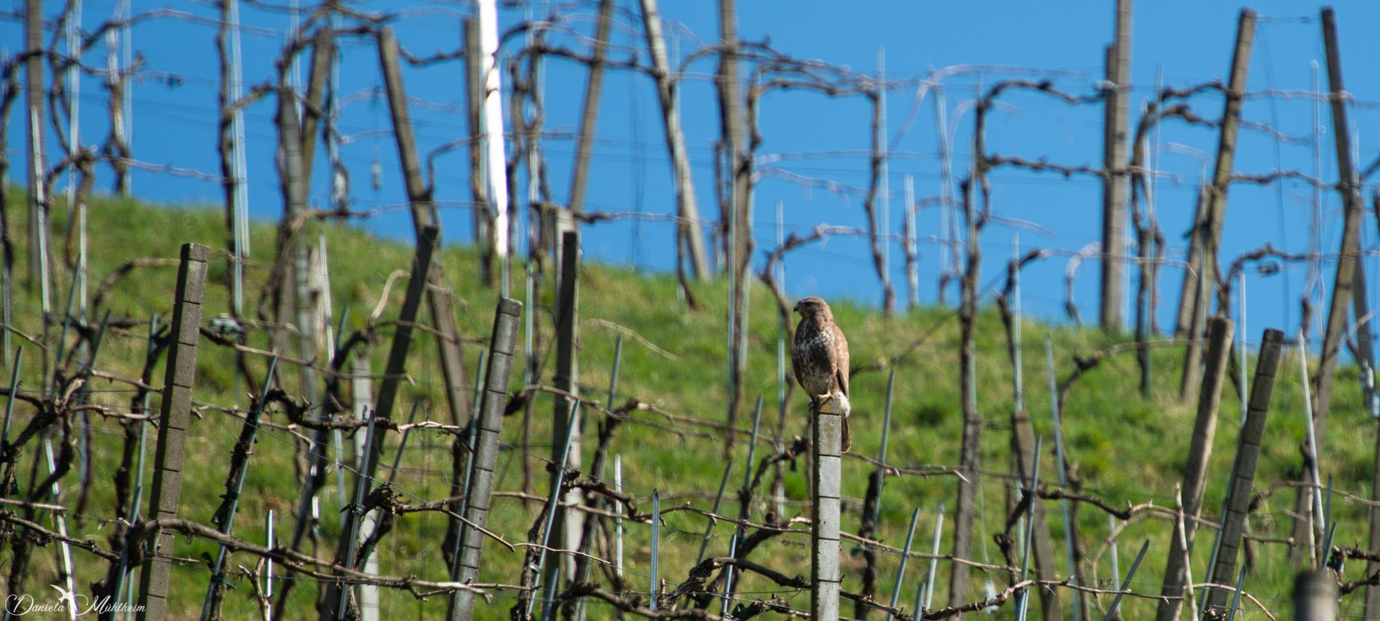 daniela, danielamuehlheim, mühlheim, ladybird, exploring, earth, abundance, nature, switzerland, grapevines, bird