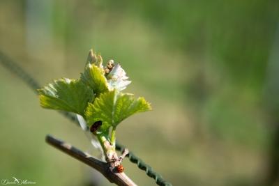 Grapevines April-11