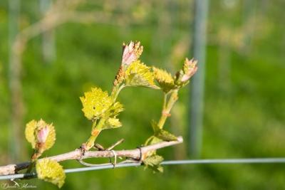 Grapevines April-12