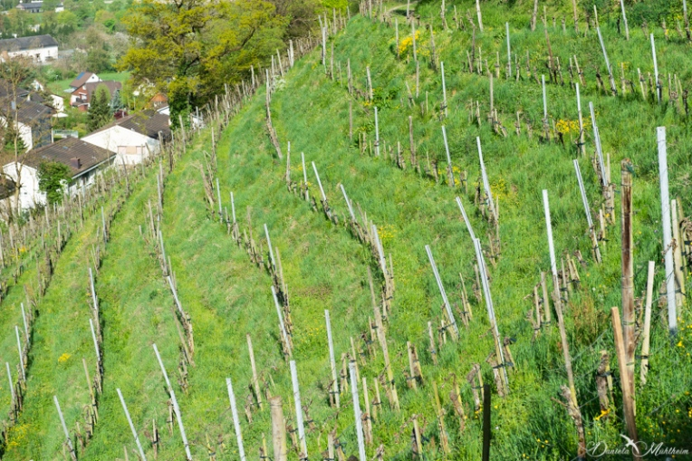 daniela, danielamühlheim, ladybird, nature, abundance, earth, explore, blog, switzerland, grapevine