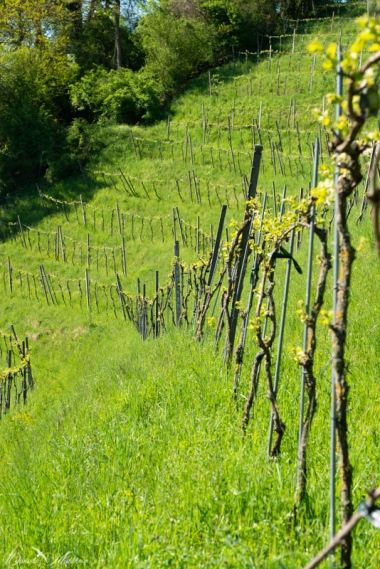 Grapevines April-19