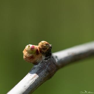 Grapevines April-5