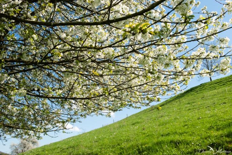 daniela, danielamühlheim, ladybird, nature, abundance, earth, explore, blog, switzerland, grapevine, cherry, tree