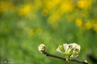 Grapevines April-9