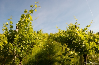 Grapevines in June-6