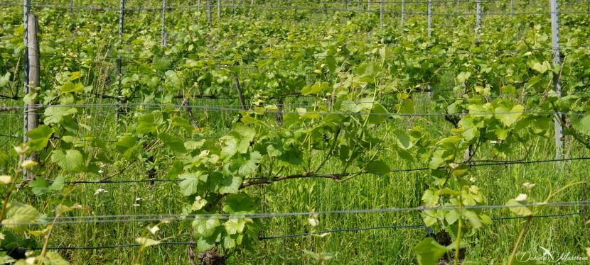 An eye on grapevines in June