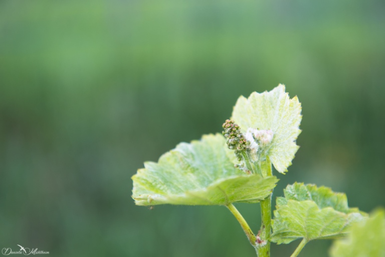 daniela, danielamühlheim, ladybird, nature, abundance, earth, explore, blog, switzerland, grapevine, wine, vineyard, spring