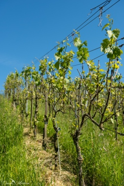 Grapevines May-25