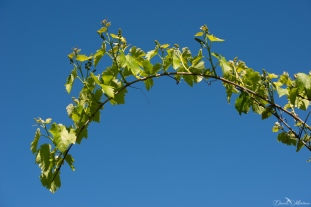 Grapevines May-4