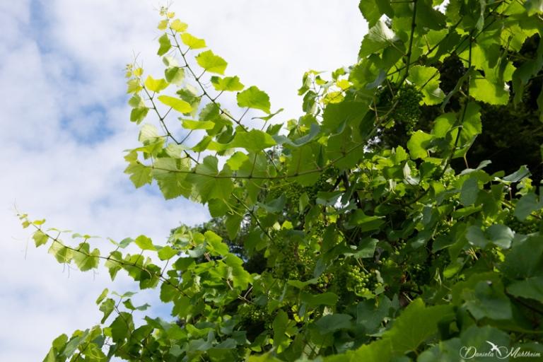 daniela, muehlheim, danielamühlheim, ladybird, exploring, earth, abundance, Switzerland, agriculture, grapevine, grape