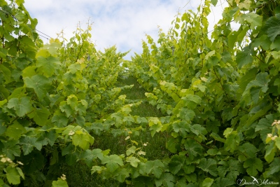 An eye on grapevines in July-20
