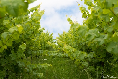An eye on grapevines in July-21