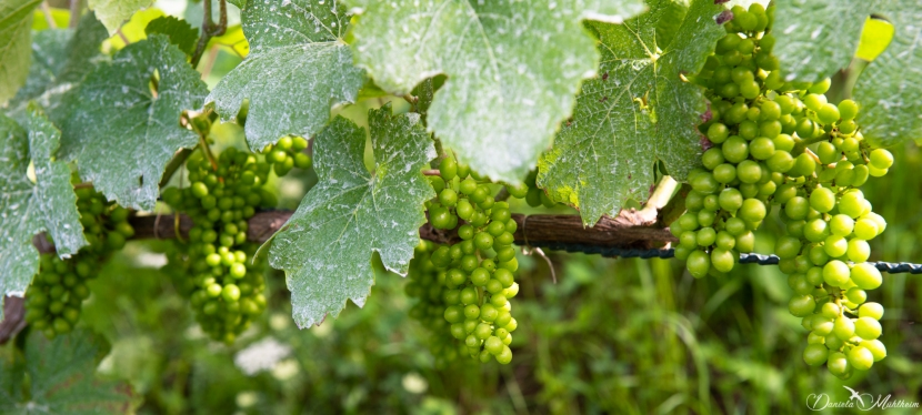An eye on grapevines in July