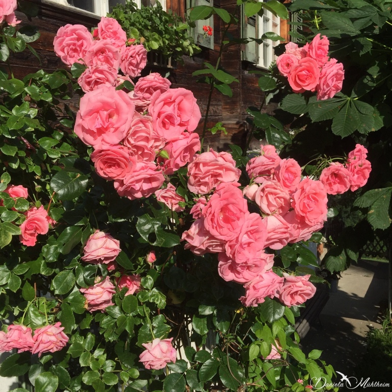 daniela, muehlheim, danielamühlheim, ladybird, exploring, earth, abundance, Switzerland, Alps, roses