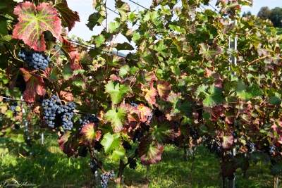 An eye on grapevines in September-11