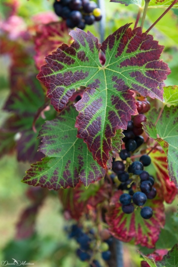 An eye on grapevines in September-21