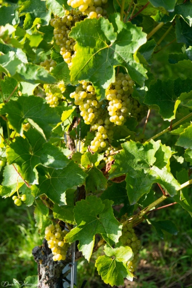 An eye on grapevines in September-23