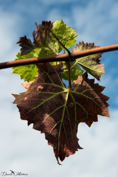 An eye on grapevines in September-27