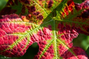An eye on grapevines in September-6