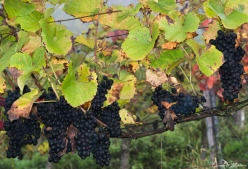 An eye on grapevines in October-12