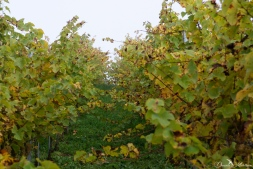An eye on grapevines in October-15