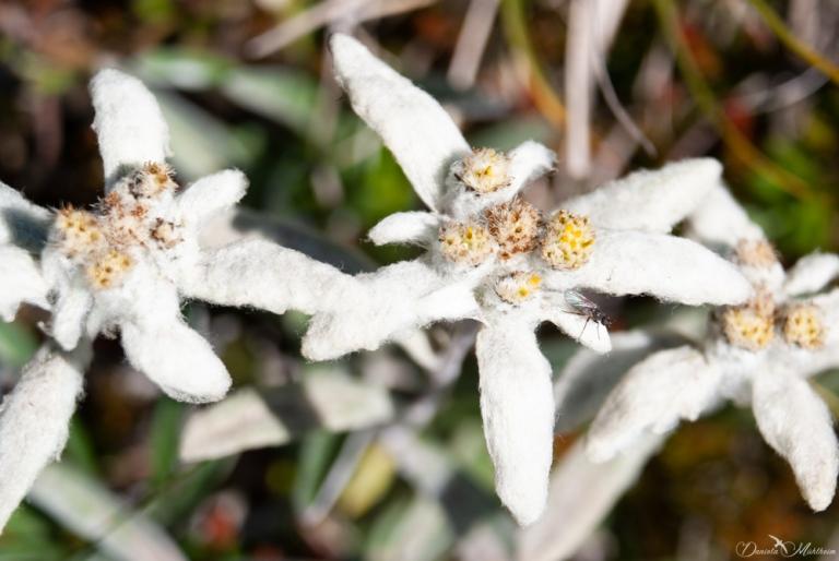 daniela, muehlheim, danielamühlheim, ladybird, exploring, earth, abundance, flower, spring, summer, edelweiss