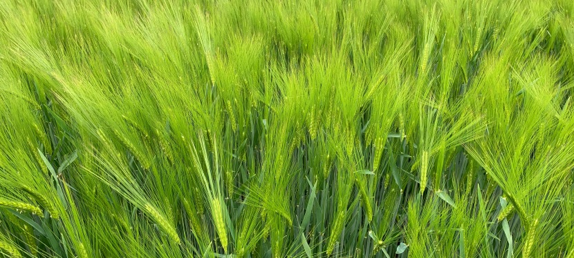 A hip hip hooray on barley