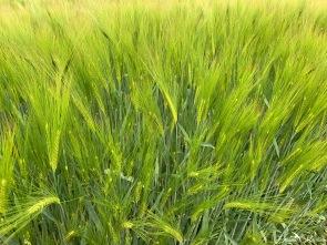 daniela, muehlheim, danielamühlheim, ladybird, exploring, earth, abundance, barley, grain, crop